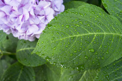 Hortensis van de hydrangea hortensia Royalty-vrije Stock Afbeeldingen