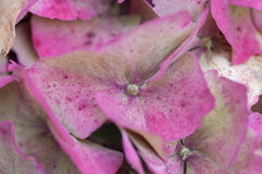 Hortensis van de hydrangea hortensia Stock Foto's