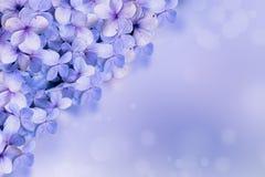 Hortensj flor tło zdjęcia stock
