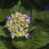Hortensj okwitnięcia - Hydrangeaceae Zdjęcia Stock
