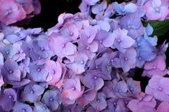 hortensja Zdjęcie Royalty Free
