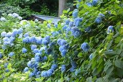 Hortensja Japonia Zdjęcia Royalty Free