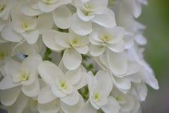 Hortensja Japonia Fotografia Royalty Free