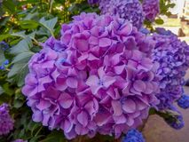 Hortensja jest menchią, purpurą i bzów kwiatami, zdjęcie royalty free