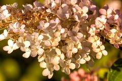 hortensja Kultywujący kwiat Obrazy Stock