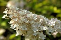 hortensja Kultywujący kwiat Zdjęcia Stock