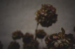 Hortensja kwiatów głowy obraz stock