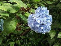 Hortensja kwiat Obraz Royalty Free