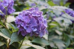 Hortensja kwiat Obrazy Royalty Free