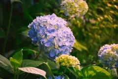 Hortensja kwiat Zdjęcia Royalty Free