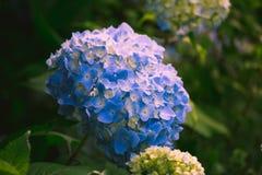 Hortensja kwiat Fotografia Stock