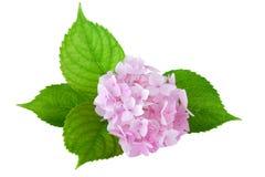 Hortensja kwiat (hortensi macrophylla) Zdjęcie Royalty Free