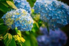 Hortensja kwiat pora deszczowa, Japonia Obrazy Royalty Free
