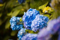 Hortensja kwiat pora deszczowa, Japonia Obraz Royalty Free