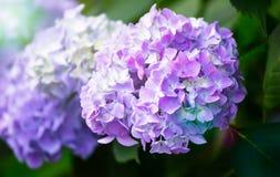 Hortensja kwiat pora deszczowa, Japonia Zdjęcie Stock