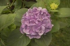 Hortensja kwiatu fiołkowy kolor Zdjęcia Stock