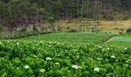 Hortensja kwiatu pole Obrazy Stock