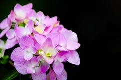 Hortensja kwiaty Obrazy Royalty Free