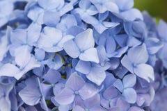 Hortensja kwiaty, piękni kwiatów pączki, błękitni i lili Obraz Stock