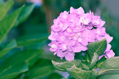 Hortensja kwiaty w miękkiej części i plamy stylu - Akcyjny wizerunek Zdjęcia Royalty Free