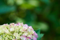 Hortensja kwitnie hortensi macrophylla z makro- W ogródzie, Obrazy Royalty Free