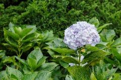 Hortensja kwitnie purpury Zdjęcia Royalty Free