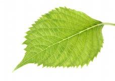 hortensja liść Zdjęcia Stock
