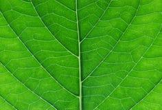 Hortensja liścia zakończenie up Zdjęcie Stock