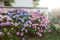 Hortensja ogród domem przy zmierzchem Krzaki są menchiami, błękit, bez, purpura Kwiatu żywopłot kwitnie w wsi obrazy royalty free