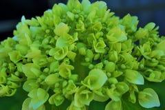 Hortensja pączek i kwiat Obrazy Royalty Free