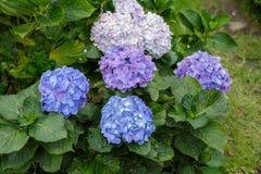 Hortensja purpurowi i błękitny kwiaty Zdjęcia Royalty Free