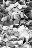 Hortensja z błękitnymi płatkami w Oban, Zjednoczone Królestwo Hortensja kwiatu okwitnięcie Flory i natura naturalne piękno kwieci zdjęcie stock