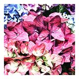 hortensje Fotografia Royalty Free