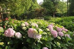 Hortensje, Czerwona hortensja, czerwony kwiat, kwitną Zdjęcie Royalty Free