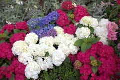Hortensje w kwiacie Obraz Royalty Free