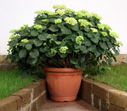 Hortenzia pot plant. Hortenzia plant in to the pot in the shadow corner on the terrace or house Stock Photo