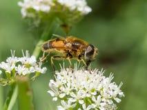 Horticola di Eristalis hoverfly o dronefly alimentandosi nettare Fotografia Stock Libera da Diritti