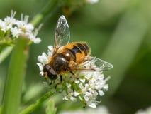 Horticola Eristalis hoverfly или dronefly Стоковое Фото