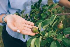 Horticulteur de femme utilisant la chemise bleue vérifiant la récolte photo stock