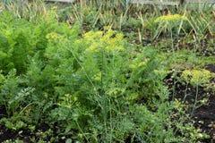 Horticultural plant umbrella fennel, carrots and garlic. Stock Photo