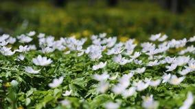 Horticulture blanche d'anémone dans le sauvage dans une forêt au printemps Photo stock