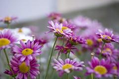 Horticulture blanche et pourpre d'été dans le jardin Image stock