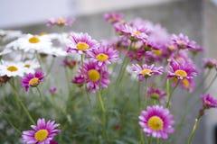 Horticulture blanche et pourpre d'été dans le jardin Images stock