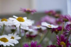 Horticulture blanche et pourpre d'été dans le jardin Photos libres de droits