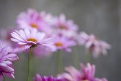 Horticulture blanche et pourpre d'été dans le jardin Images libres de droits