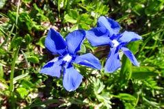 Horticulture bleue dans le sauvage Image libre de droits