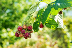 Horticulture and cultivation of raspberries, Royalty Free Stock Image