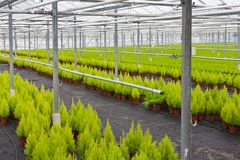 Horticulture with cupressus in a greenhouse. Dutch horticulture with cupressus in a greenhouse stock photography