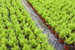 Horticulture with cupressus in a greenhouse Stock Photos