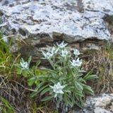 Horticulture d'edelweiss dans les montagnes d'alpe photos libres de droits